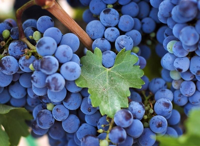 Правильная подкормка винограда весной - залог хорошего урожая