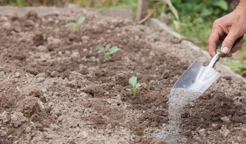Под рассаду кольраби вносят смесь золы, табака и перца - что подкармливает растения, и защищает от вредителей
