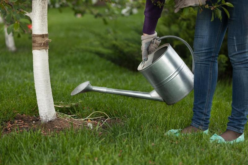 Подкорневая подкормка вишни органикой
