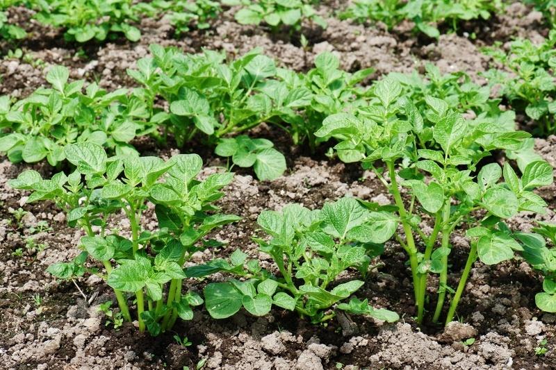 Подросшие кусты картофеля - время первого полива