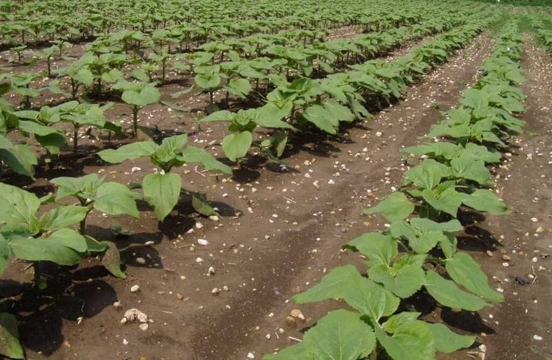 Подсолнечник быстро истощает почву и его нельзя выращивать два года подряд на одном месте