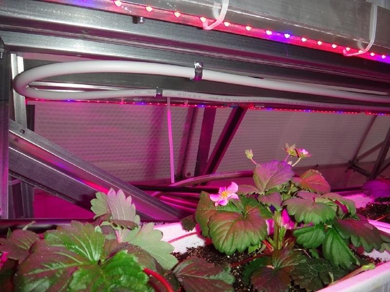 Подсветка клубники светодиодной фитолампой