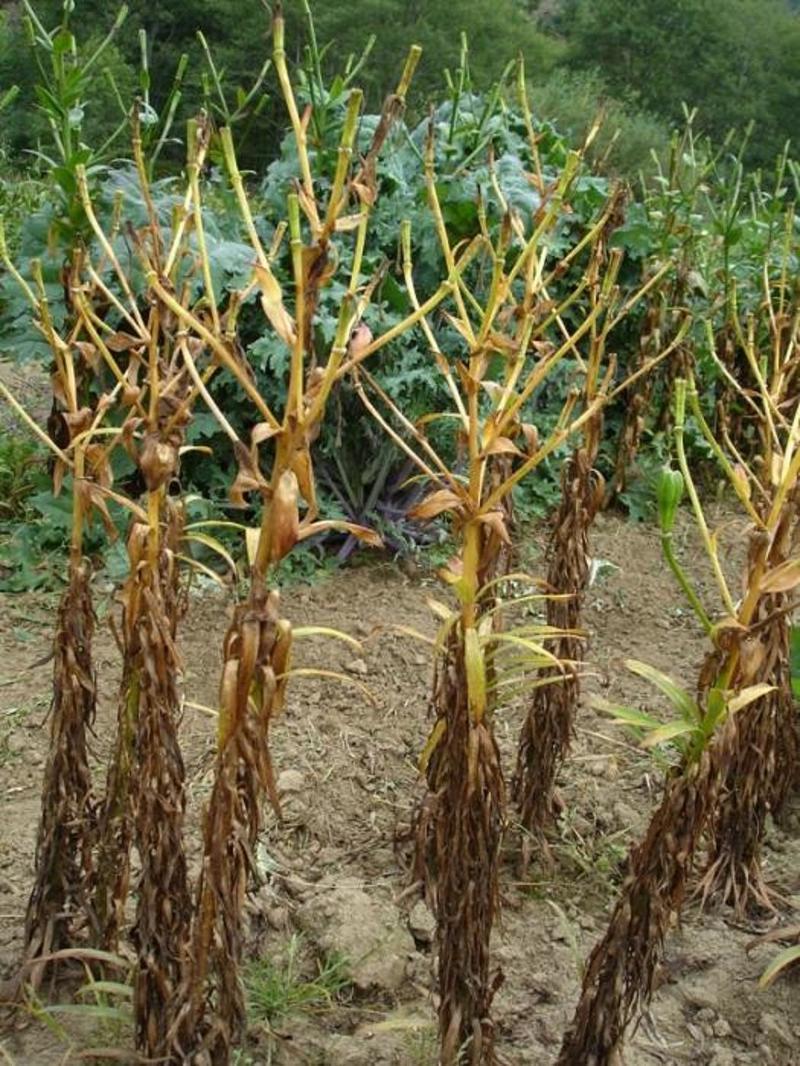 После подсыхания стебля лилии его обрезают