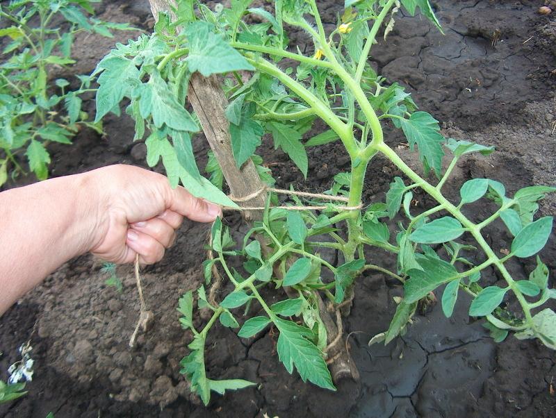 Подвязка кустов помидоров