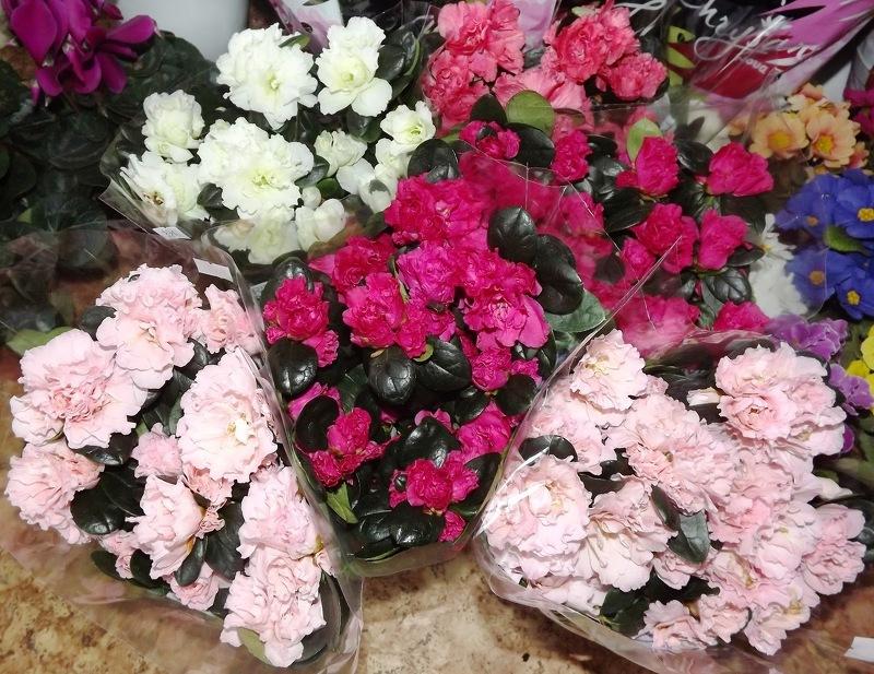 Покупаем комнатные цветы зимой - фото: vsadu.ru/photo/1654/0