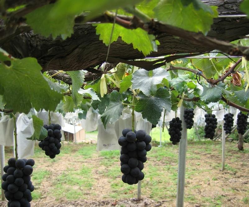 Полезные свойства черных сортов винограда