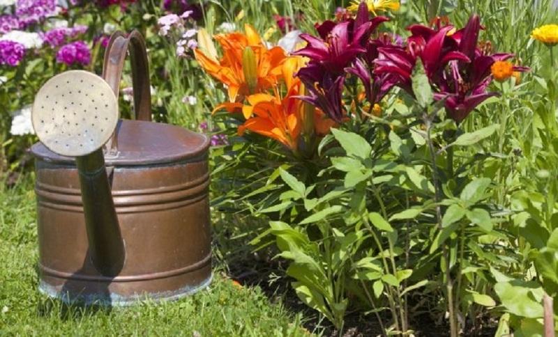 Полив лилий во время бутонизации и цветения
