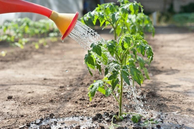 Полив помидоров до цветения
