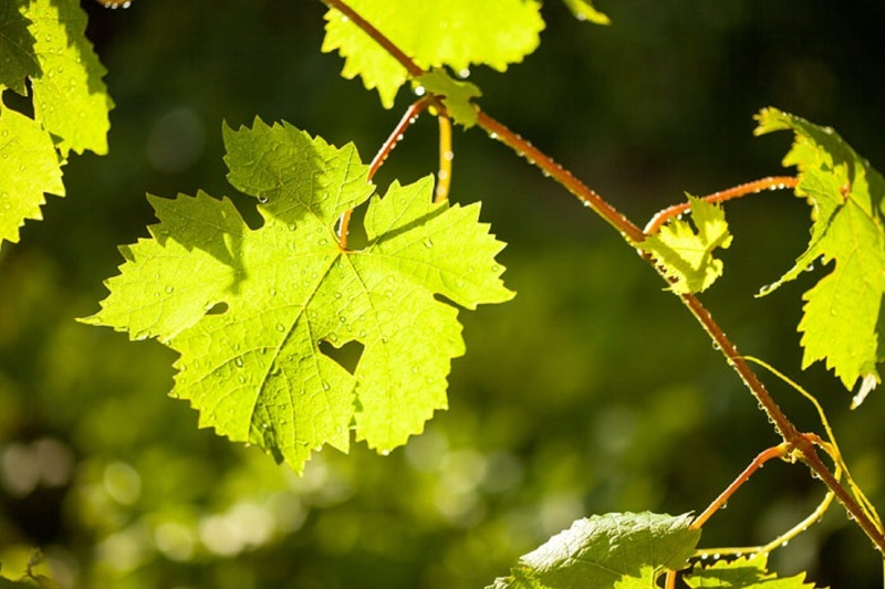 Листья винограда содержат множество веществ и особенно полезны для диабетиков