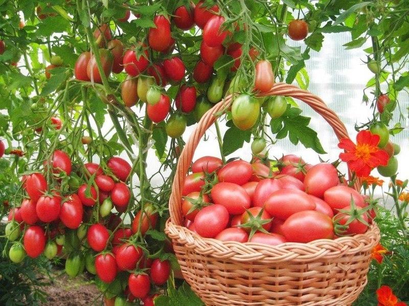 Подкормка и обработка помидор без химии