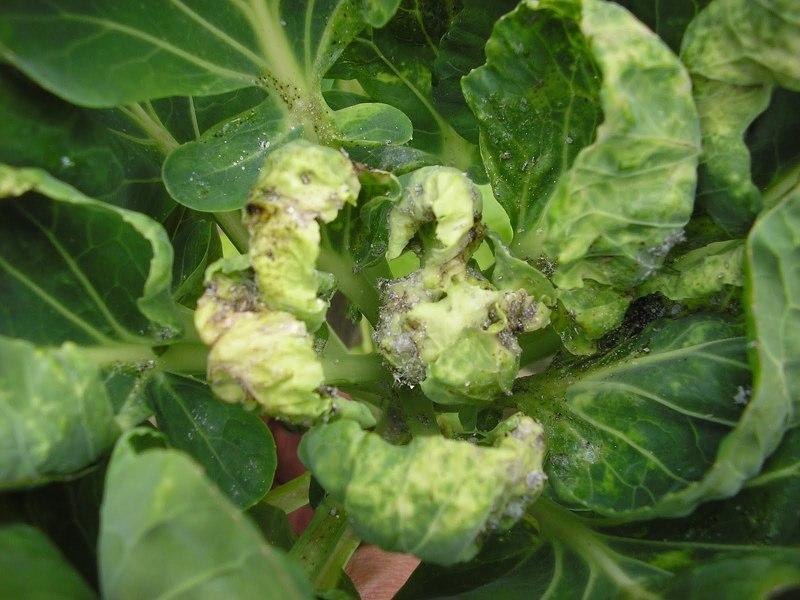 Признаки поражения тлей белокочанной капусты