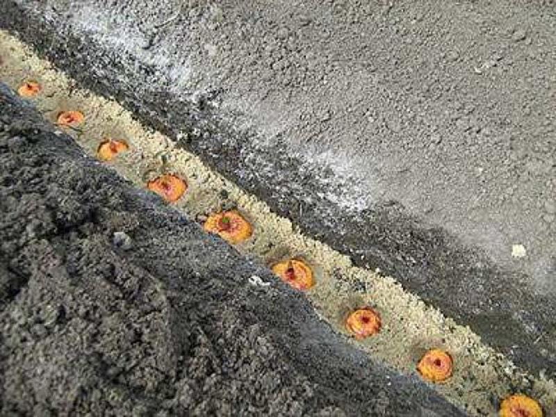 Посадка гладиолусов в песчаную борозду
