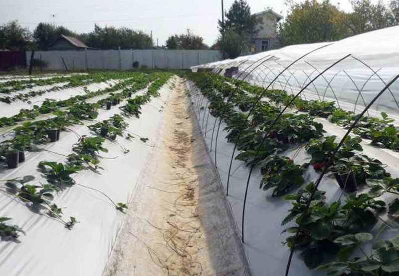 Посадка клубники под агроспан