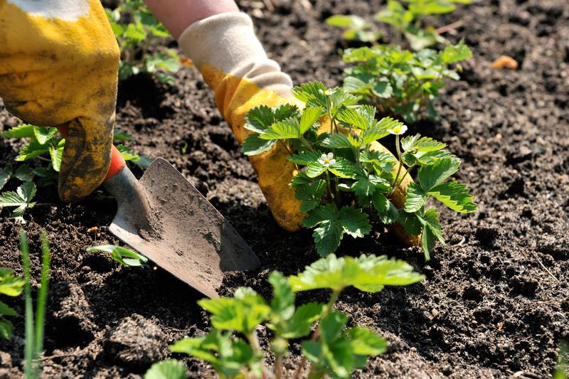 Посадка кустов клубники в открытый грунт