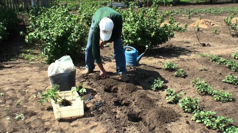 Посадка помидоров в открытый грунт в мае