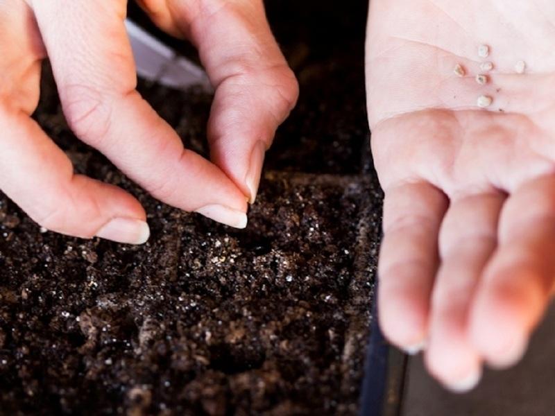 Посев семян помидоров Малиновое чудо