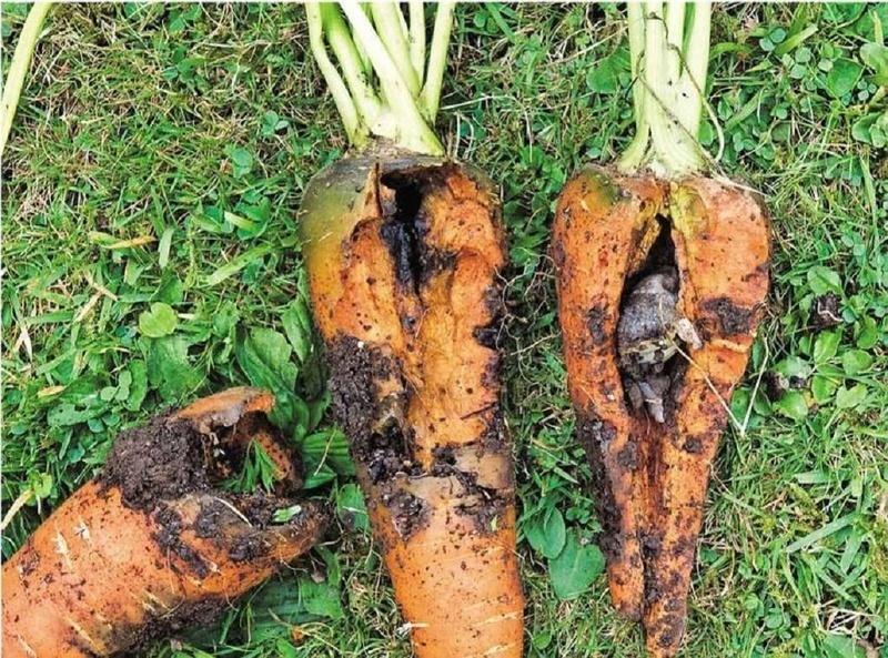Поврежденный медведкой урожай моркови