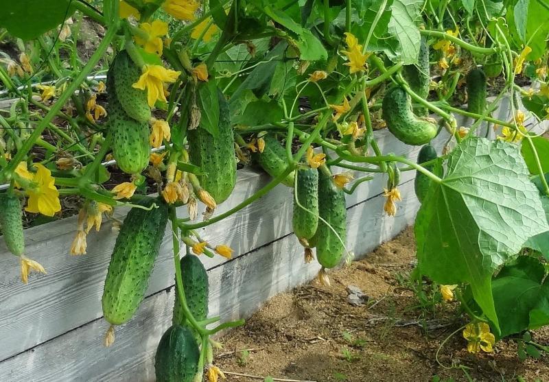 Правильная посадка и уход за огурцами - залог отличного урожая