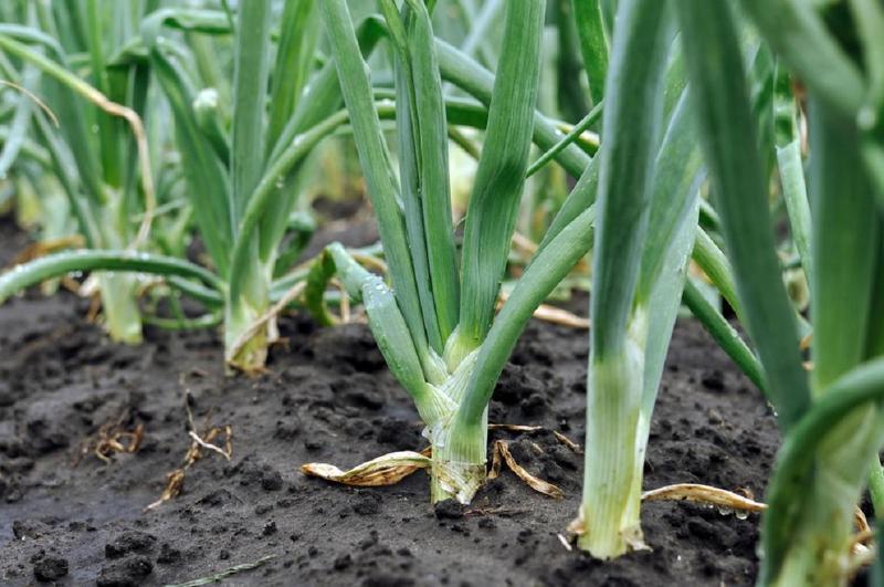 Правильный полив лука гарантирует хорошую урожайность
