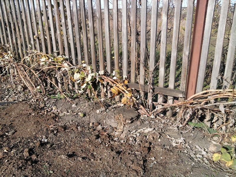 Пригибание малины к земле на зиму