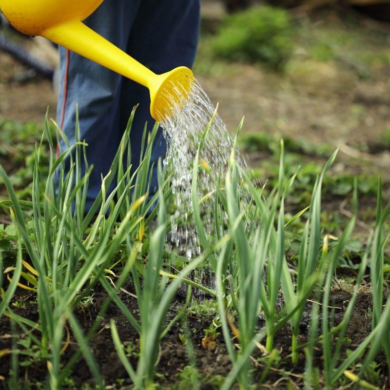 Применяем нашатырь в огороде для внекорневой подкормки чеснока