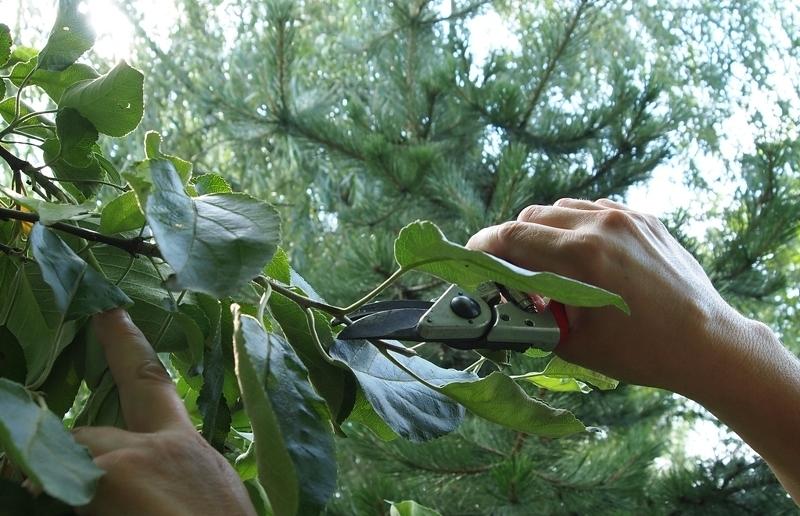 Если плодовые деревья не плодоносят - поможет прищипывание