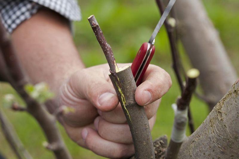 Прививка домашних и садовых деревьев