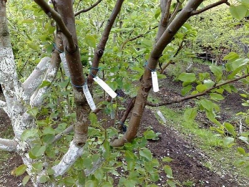 Как сделать сливу на деревьях