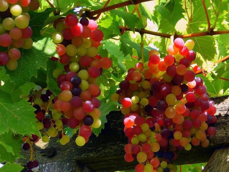 Прививка винограда дает возможность быстрого получения урожая