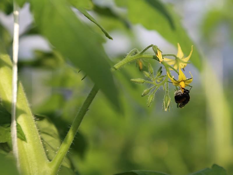 Привлечение насекомых для опыления томатов естественным путем