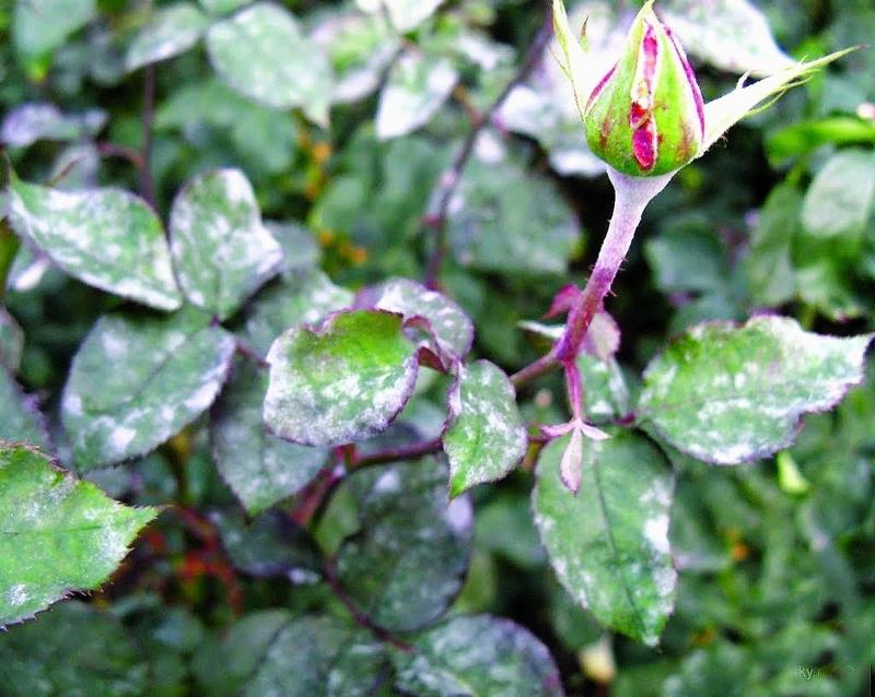 Признаки болезни роз - мучнистой росы на побеге и листьях