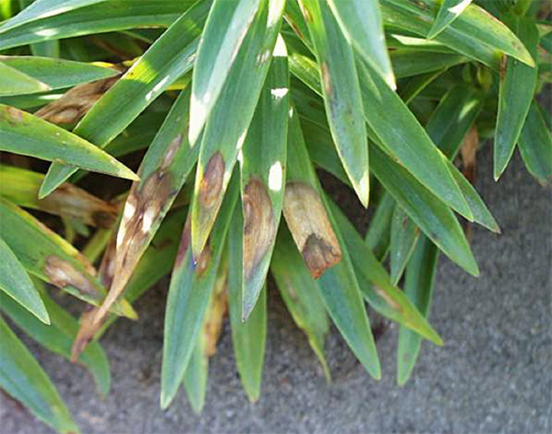 Признаки грибковых заболеваний на листьях лилии