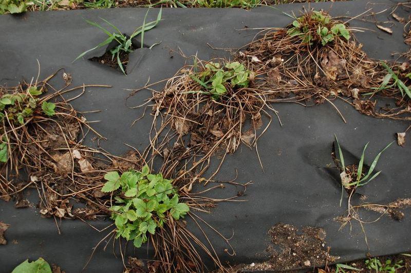 Быстрое увядание, плохая завязь и низкая урожайность - признаки истощения земли