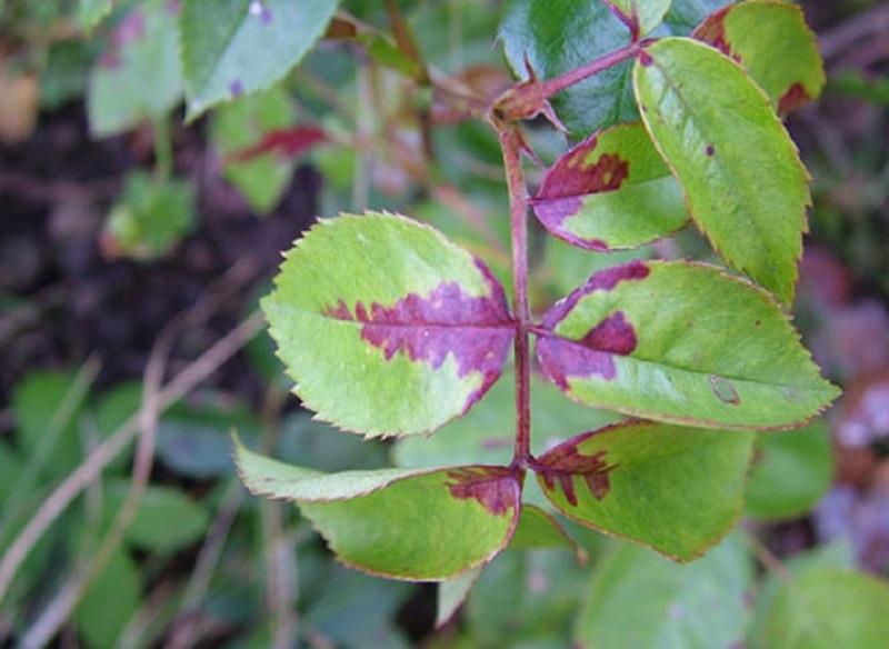 Признаки пероноспороза на листьях розы