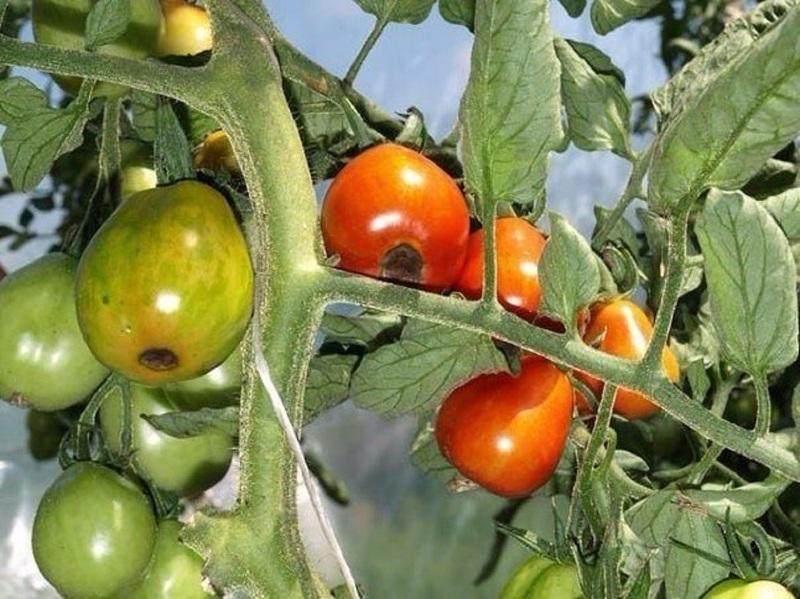 Первые признаки вершинной гнили на томатах