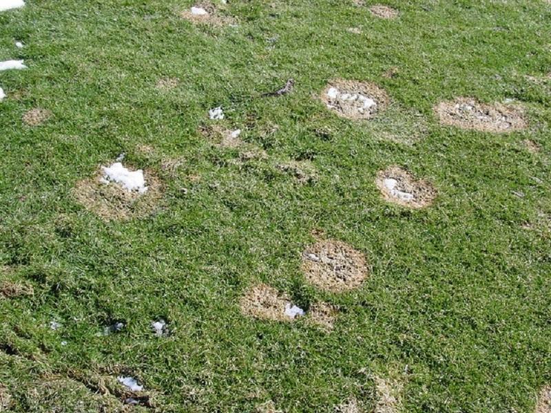 Проблема заболеваний газонных трав