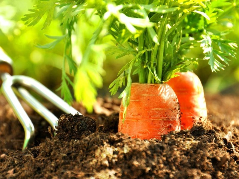 Профилактические меры помогут вырастить хороший урожай моркови