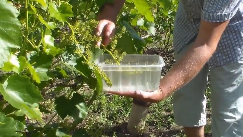 Промывание гроздей винограда в йодовом растворе от серой гнили