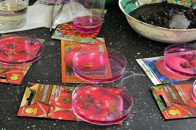 Протравливание семян томатов - лучшая профилактика вершинной гнили