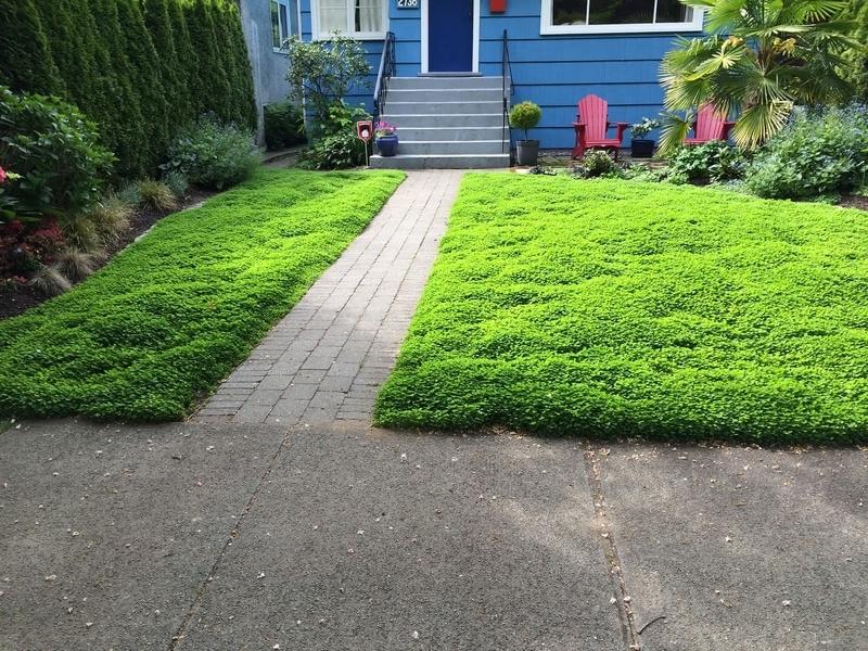 Пушистый газон из белого клевера фото