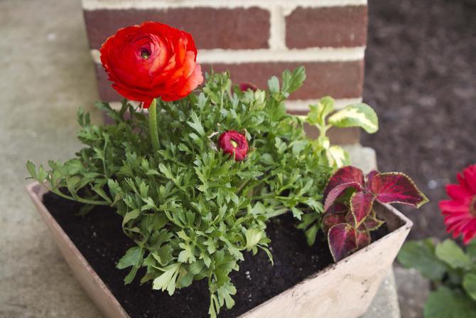 Ранункулюс в горшках летом используют для украшения садовых построек