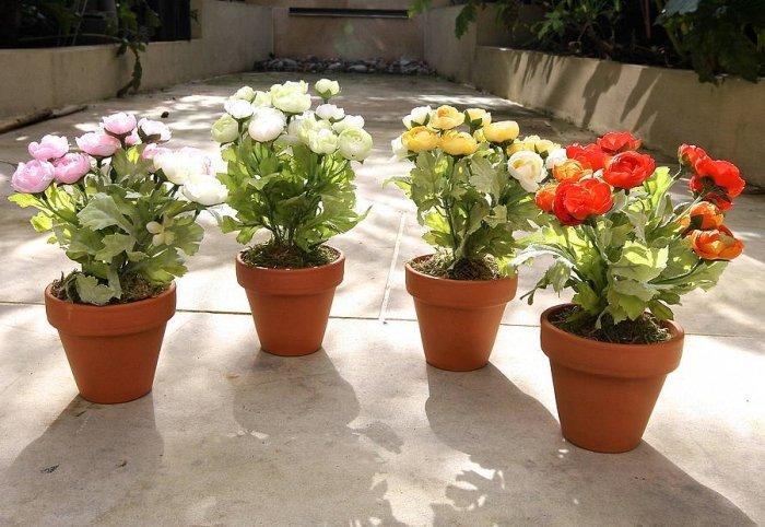 Выращивание ранункулюса в горшках в домашних условиях