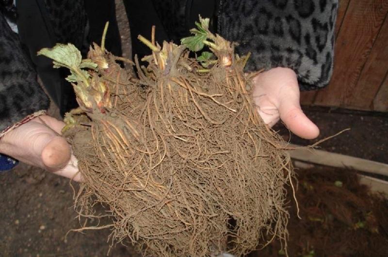 Рассада Фриго для голландского метода выращивания клубники