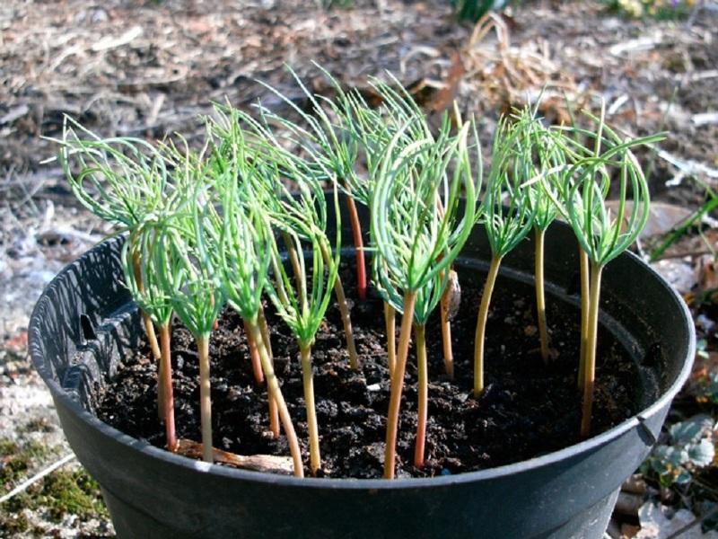 Выращивание рассады ели в домашних условиях