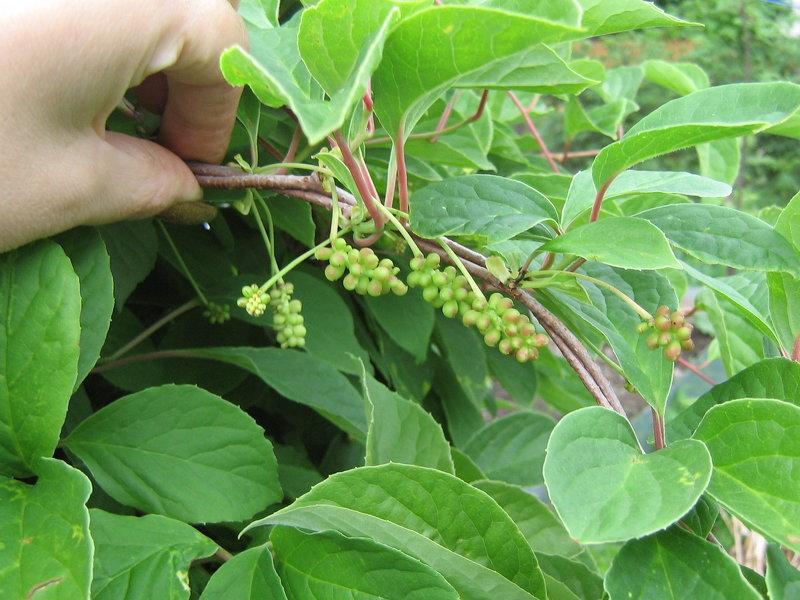 растения от паразитов в организме человека