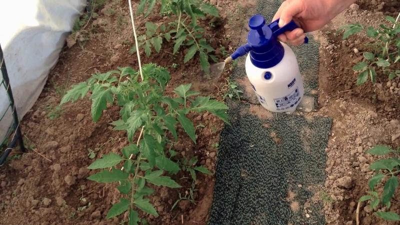 Подкормка йодом растений в огороде