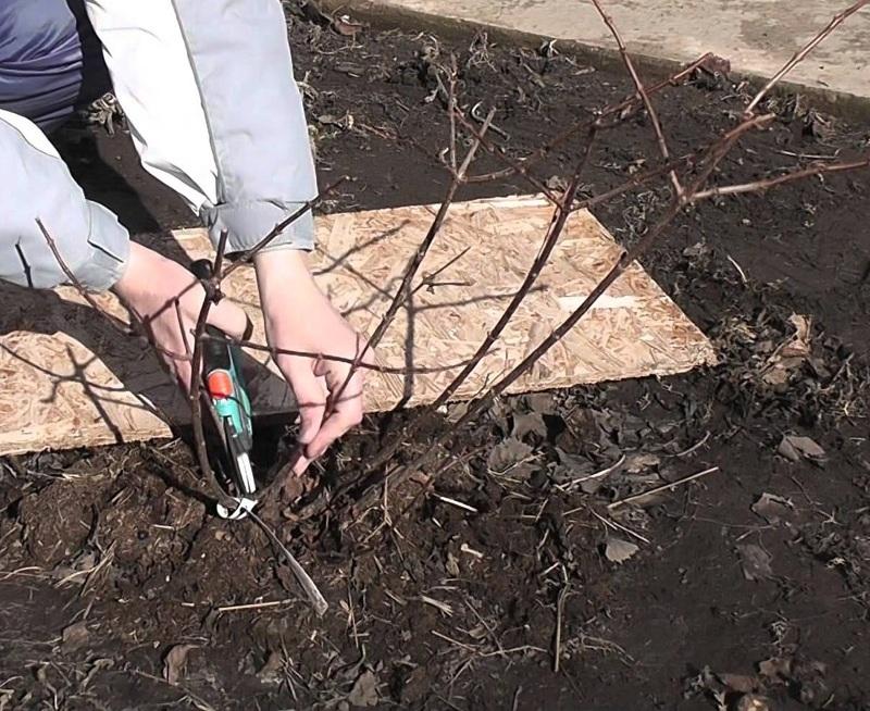 Как правильно сажать гортензию весной 8