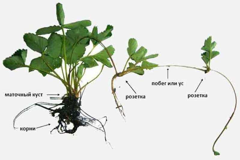 Изображение - Выращивание клубники razmnozhenie-klubniki-usami