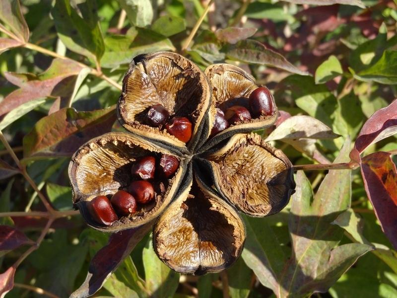 Размножение пион - сбор семян в августе