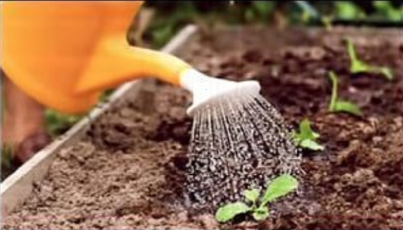 Редька дайкон при выращивании требует регулярного полива